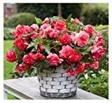 1 Pink Delight Large Begonia Corm/Bulb - Beautiful In Ground Or In Pots Bur Not Cold Hardy