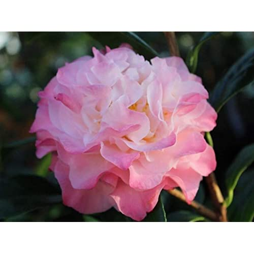 Camellia Ruby Wedding 3 litre FREE POSTAGE+YOU WONT FIND CHEAPER
