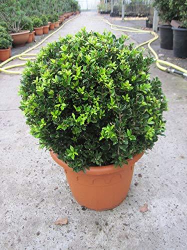 Baumschule Pflanzenvielfalt Ilex crenata...