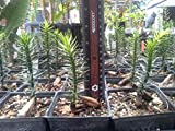 FERRY Bio-Saatgut Nicht nur Pflanzen: Araucaria araucana - Monkey Puzzle - 100 Samen / - The Re l
