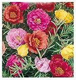 Inception Pro Infinite 500 C.ca Semi Portulaca Doppia In Miscuglio - Grandiflora In Confezione...