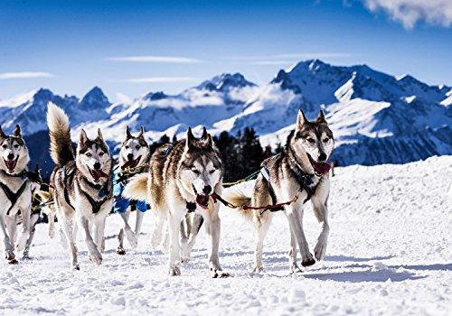 wandmotiv24 Fototapete Schlittenhunde in Speed Racing XS 150 x 105cm - 3 Teile Fototapeten, Wandbild, Motivtapeten, Vlies-Tapeten Sport, Hunde, Husky M0559