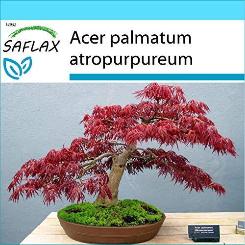 SAFLAX - Kit cadeau - Erable du Japon pourpre - 20 graines - Acer palmatum atropurpureum