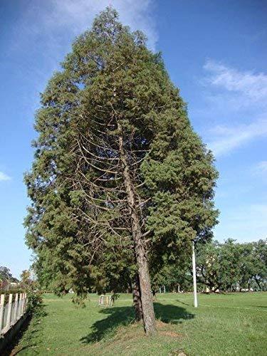 30 semillas - semillas del árbol de cedro-de-Goa (Cupressus lusitanica)
