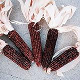 untreated kernel corn - Ornamental Corn Bloody Butcher Seeds - Untreated Vegetable Seeds Package - 1/2 LB Package