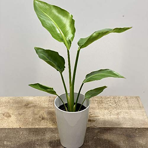 観葉植物:ストレリチア オーガスタ*プラポット 4号