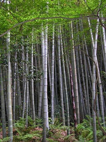 Phyllostachys edulis Moso Bambus, 10 Samen