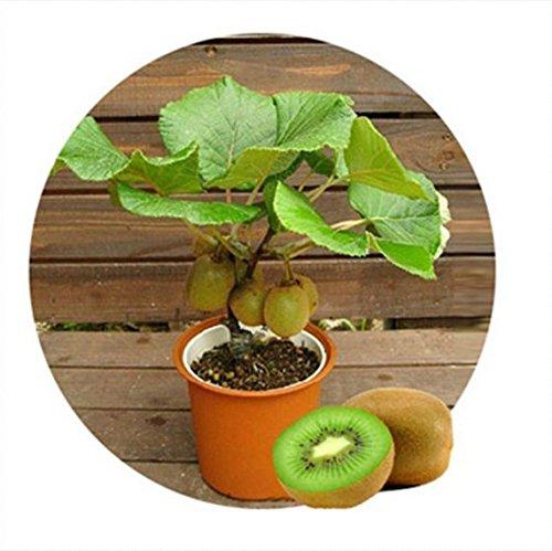 libere la nave 1seeds Tailandia mini fruta de kiwi (40) Semillas de plantas Bonsai, kiwi delicioso Pequeño frutales de pepita