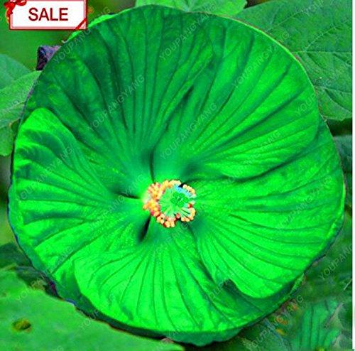 100PCS/sac graine de fleur d'hibiscus géante couleur mélangée fleur graine d'hibiscus bricolage jardin maison facile à cultiver en pot pour le jardin de la famille jaune
