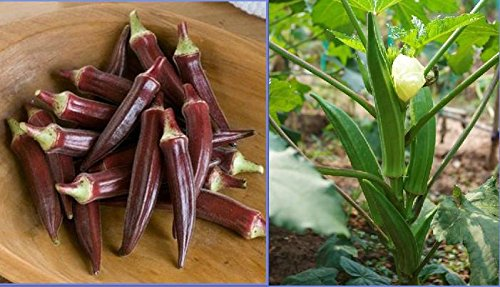 Graines Red Okra organiques, emballage d'origine, 12 graines / Pack, Fingers 'Abelmoschus Esculentus Ladies