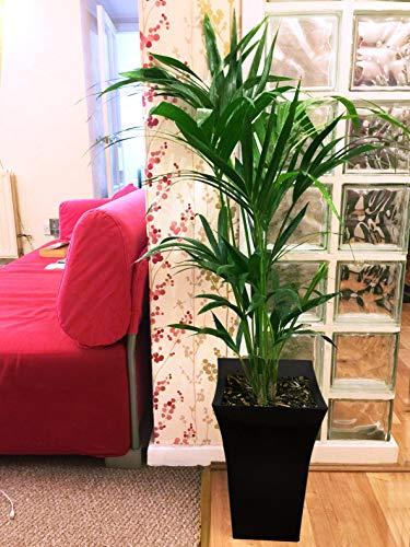 Easy Plants Milano - Planta de suelo (tamaño grande), color negro brillante, Kentia Palm