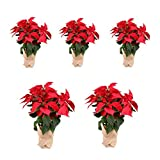 Planta Navidad - PACK 5 Plantas de Navidad - Flor de pascua - Poinsettia - Altura 55 cm - Planta natural - Envío gratis