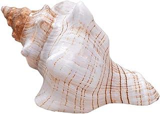 Huang Coquilles de conque à enroulement Naturel escargots en Spirale Longs spécimen d'ornement océanique Rare réservoir de...