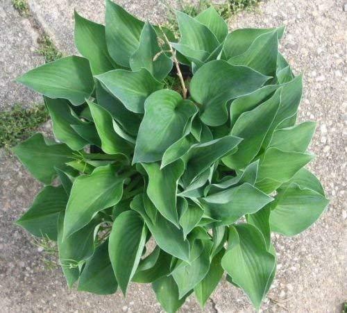 20 Samen von Hosta Blau Kadett - Blau-Grün, Herz-geformte Blätter