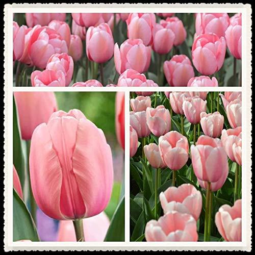 Bulbo di tulipano Bulbo da fiore Giardino Paesaggio Fiore Raro Fiore rosa Misterioso Esotico Perenne Fiore primaverile-5 Bulbi