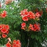Bignonia - Campsis tagliabuana Mme Galen Colore del fiore: Fiori rosso salmone, a trombetta La pianta ha poche foglie quando viene spedita, ma ha gemme. Dopo la semina, la pianta crescerà considerevolmente e germoglierà / fiorirà. Periodo di fioritur...