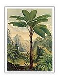 Seychellen Stelzen Palme (Arecaceae - Verschaffeltia