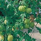 花のタネ  風船かずら バルーンパイン  約20粒 一年草 今年は可愛い緑のカーテン! 第4種または一般郵便