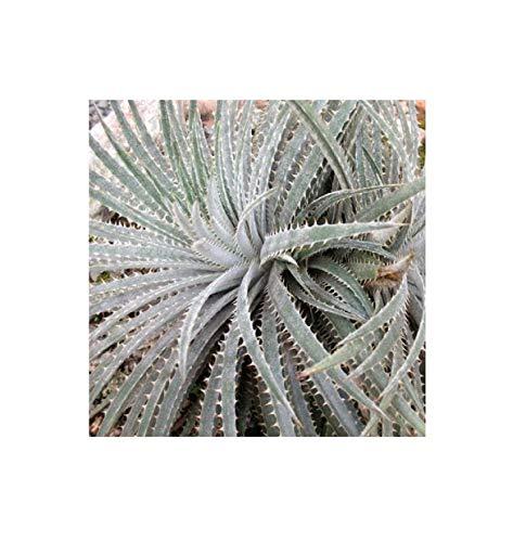 Stk - 3x Dyckia sp Chapada Diamantina Sukkulente Pflanzen - Samen B2060 - Seeds Plants Shop Samenbank Pfullingen Patrik Ipsa
