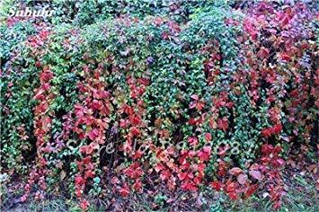 Vistaric 50 Pcs Mixte Boston Graines 100% Véritable Parthenocissus Tricuspidata Semences En Plein Air Plantes Presque Pas De Soins Plante D'escalade Décorative 10