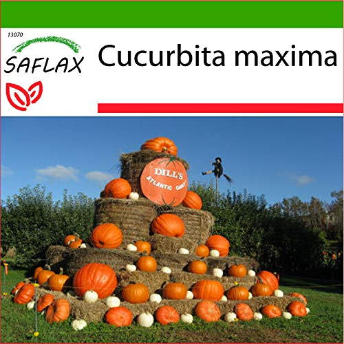 SAFLAX - Zucca gigante - 7 semi - Con substrato - Cucurbita maxima