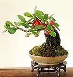 Membrillo japonés (Bonsai - Ornamental - Bajo mantenimiento) 10 semillas