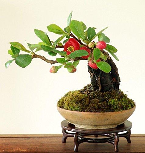 Japanische Quitte (Bonsai - Zier - Gering Wartungs) 10 Samen
