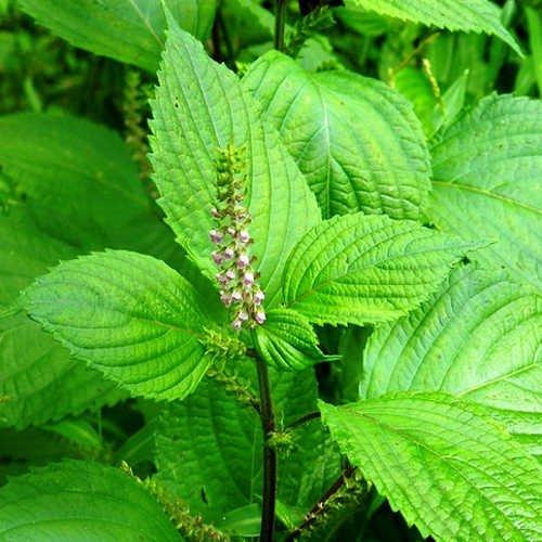Perilla frutescens - Shiso verde - Spg - Semi