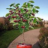 10 piezas de semillas de cerezo enano Árbol frutal autofértil Plantación en interiores y exteriores Dulce y jugoso amado por la familia