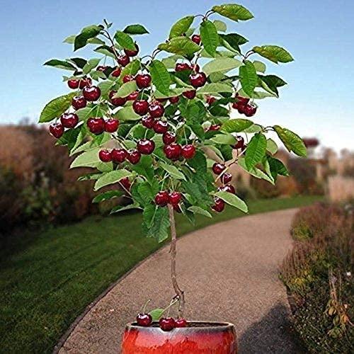 10 piezas de semillas de cerezo enano Árbol frutal autofértil Plantación en interiores y...