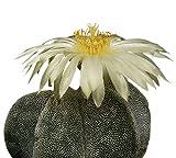 Kaktus ''Bischofsmütze'' (Astrophytum myriostigma) 25 Samen -