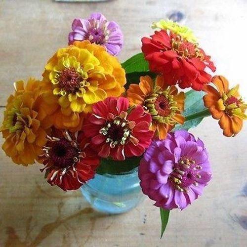 Semillas Zinnia Lilliput Mix de flores (Zinnia elegans) 50 + Semillas