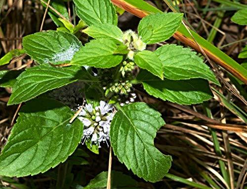 100 Samen japanische Heilminze, Mentha arvensis ssp. haplocalyx, Minzölpflanze