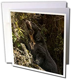 3dRose Spectacled or Andean Bear Andes Ecuador SA07 POX2246 Pete Oxford Greeting Cards, Set of 12 (gc_141177_2)