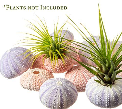 Sea Urchins   6 Pink Sea Urchin Shells & 6 Purple Sea Urchin Shells   Craft and Decor   Plus Free Nautical eBook by Joseph Rains
