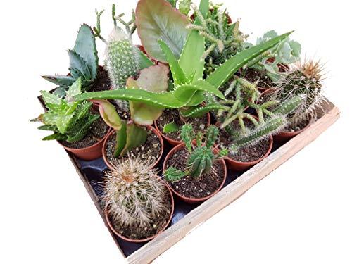 Mini-Kakteen und Sukkulenten, Mischung - incl. Holzkiste (16 Pflanzen je im 5,5cm Topf, incl. Holzkiste)