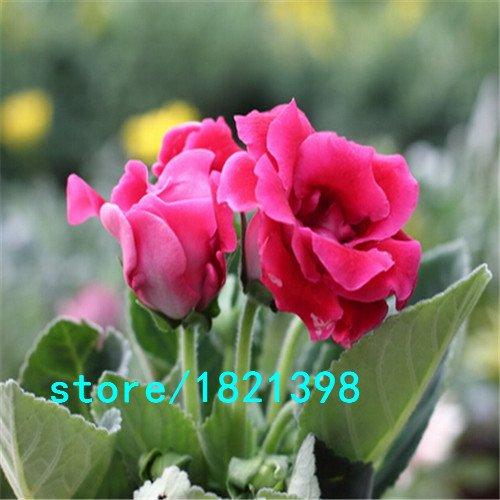 Gloxinia Seeds (mélange) Seed Flower Pot Planters Garden Bonsai Flower 100 particules / lot