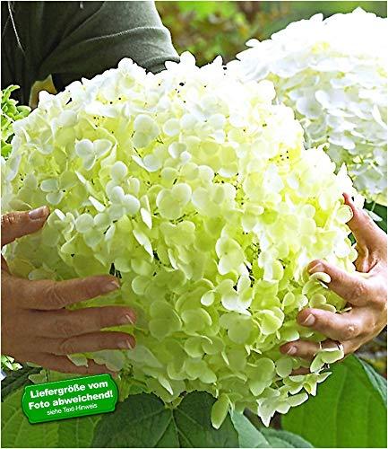 BALDUR-Garten Freiland-Hortensien 'Incrediball®', 1 Pflanze Hydrangea arborescens Gartenhortensie winterhart