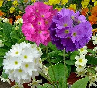 primrose denticulata