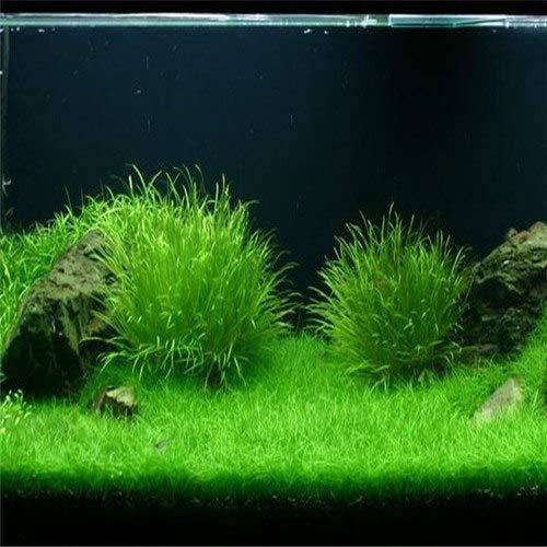 Pinkdose 100 pcs/sac plants d'herbe de graines d'aquarium nouveau de gazon d'aménagement paysager décoratif d'aquarium de poissons d'eau pelouse graines aquarium: C