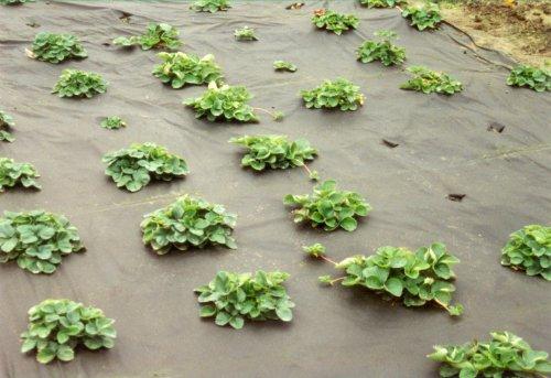 NOOR Universal Mulchvlies, 1,6 x 5m I Schwarzes Hochbeetvlies für chemikalienfreie Unkrautbekämpfung I Gartenfolie zur Förderung von Pflanzenwachstum