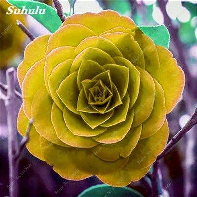 Grosses soldes! 10 Pcs Camellia Graines, Graines Bonsai Fleur, couleur rare, bonsaïs d'intérieur / extérieur Plante en pot pour jardin Facile à cultiver 13