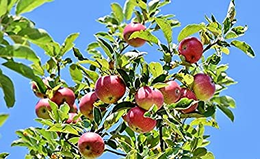 PINK LADY APPLE TREE - 2 Year Old/4-5 Feet Tall