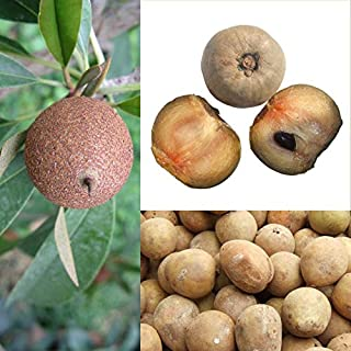 Jamaican Naseberry Tree Seeds Sapodilla,a.k.a. Chico Sapote, Zapote, Chicle (3 Seeds) by AchmadAnam