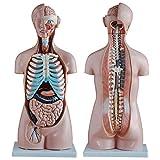 ZAMAX Modelo de Estudio Esqueleto 85 cm Modelo de Torso de 20 Partes Modelo de Medio Cuerpo Torso Anay con órganos internos Modelo anaico
