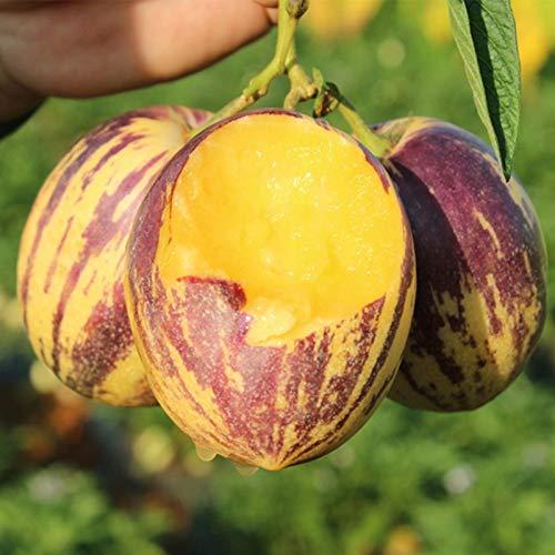 TOYHEART 50 Stück Premium-Fruchtsamen, Pepino-Samen, Nahrhafte Medizinische, Duftende, Rustikale Gemüsesamen Für Den Bauernhof Gelb
