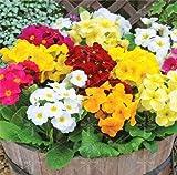 200 Stück echte Nachtkerzen Europa Primel malacoides Farbe Bonsai Blume für Hausgarten supples für Frau Pflanze Geschenk mischen: 13