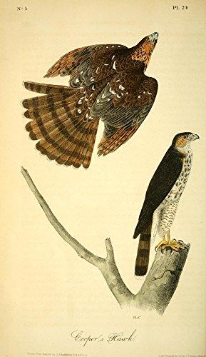 Posterazzi Birds of America 1844 Cooper's Hawk Poster Print by J.J. Audubon, (18 x 24)