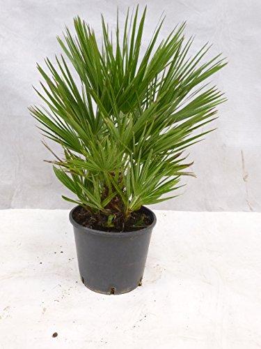 [Palmenlager] - Chamaerops humilis - Zwergpalme - 50 cm / viele Ableger/Kindel