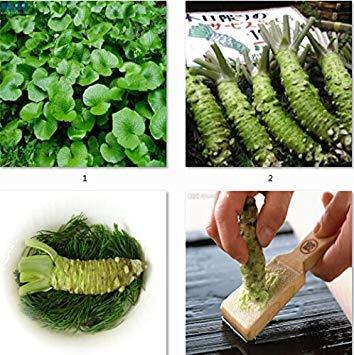 planta wasabi fabricante Zoomy Far